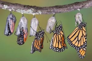 Papillon est en train d'éclore dans Histoire 1310085-mue_imaginale_dun_monarque-300x198